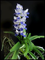 Phynchostylis coelestis. A species orchid ( color)