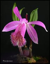 Pleione formosana1. A species orchid ( color)