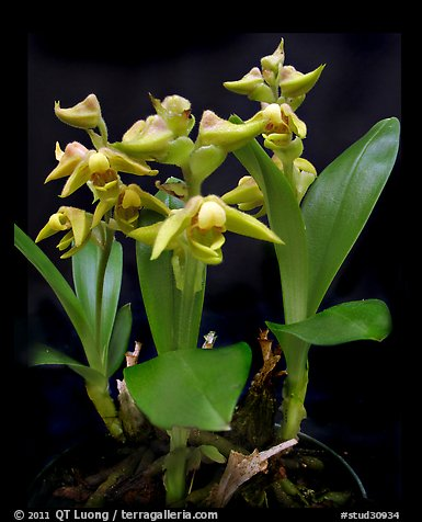 Polystachya zambesiana. A species orchid (color)