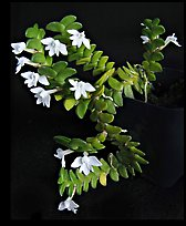 Angraecum distichum. A species orchid ( color)