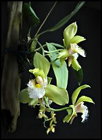 Bifrenaria racemosa. A species orchid ( color)