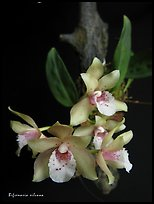 Bifrenaria silvana. A species orchid ( color)