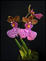 Caucaea mimetica. A species orchid ( color)