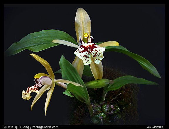 Coelogyne schilleriana. A species orchid (color)