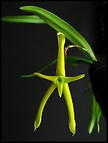 Cryptocentrum latifolium. A species orchid ( color)