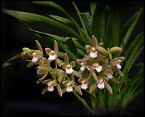 Cymbidium pumilum 'Blush'. A species orchid ( color)