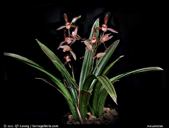 Cymbidium sinense 'Da Mo'. A species orchid (color)