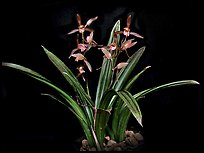 Cymbidium sinense 'Da Mo'. A species orchid ( color)