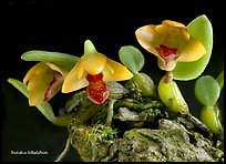 Dendrobium bulbophylloides. A species orchid ( color)