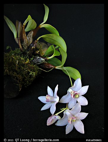 Dendrobium cruthwellii. A species orchid (color)