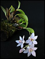 Dendrobium bulbophylloides plant. A species orchid ( color)