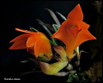 Dendrobium dekockii. A species orchid ( color)