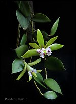Dendrobium peguanum plant. A species orchid (color)
