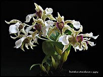 Dendrobium pugioniforme. A species orchid ( color)