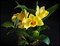 Dendrobium sulcatum. A species orchid ( color)