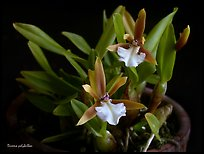 Dinema polybulbon. A species orchid (color)
