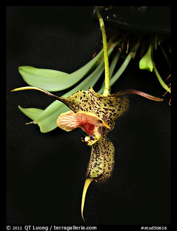 Dracula chesterstonii. A species orchid (color)