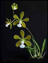 Encyclia tampensis alba. A species orchid (color)