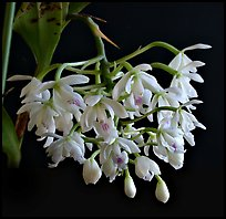 Epidendrum hugomendinae. A species orchid ( color)