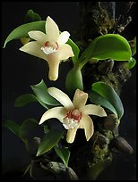 Eria rhombodais. A species orchid ( color)