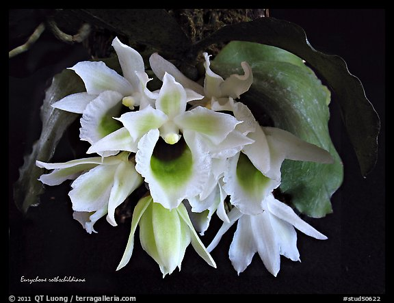 Eurychone rothschildiana. A species orchid (color)