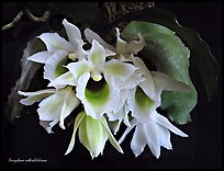 Eurychone rothschildiana. A species orchid ( color)
