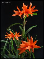 Hexisea bidentata. A species orchid (color)