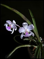 Holcoglossum amesianum. A species orchid (color)