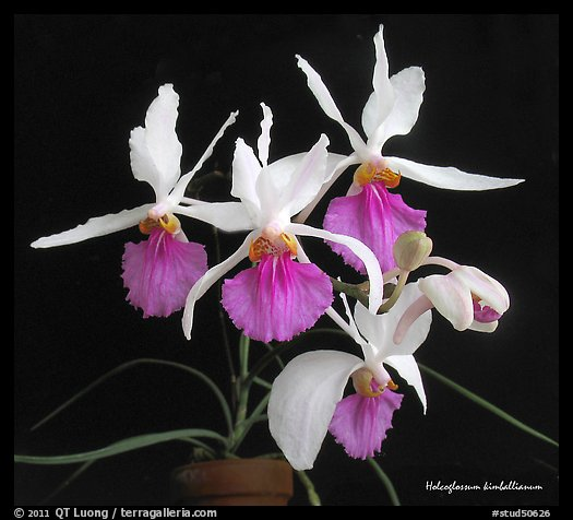 Holcoglossum kimballianum. A species orchid (color)