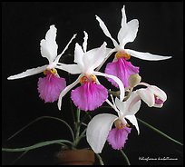 Holcoglossum kimballianum. A species orchid ( color)