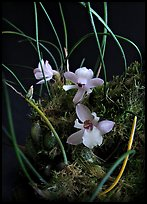 Isabella virginalis. A species orchid ( color)