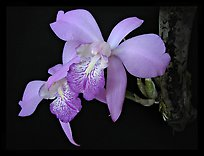 Laelia speciosa. A species orchid ( color)