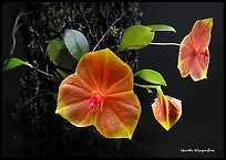 Lepanthes telipogoniflora plant. A species orchid (color)