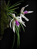 Leptotes bicolor. A species orchid ( color)