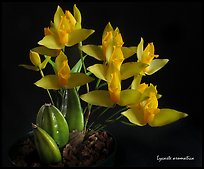 Lycaste aromatica. A species orchid ( color)