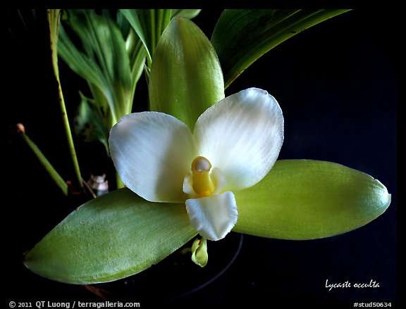 picture  photo  lycaste occulta  a species orchid