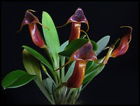 Masdevallia ventricularia. A species orchid ( color)