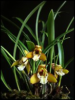 Maxillaria gracilis. A species orchid ( color)