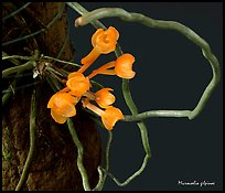 Microcoelia gilpinae. A species orchid (color)
