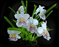 Miltoniopsis phalaenopsis. A species orchid ( color)