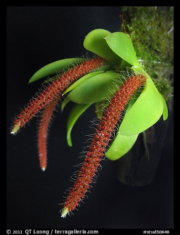 Oberonia toppingii. A species orchid (color)