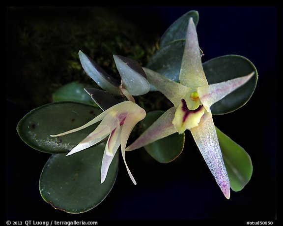 Octomeria estrellensis. A species orchid (color)