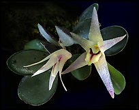 Octomeria estrellensis. A species orchid ( color)