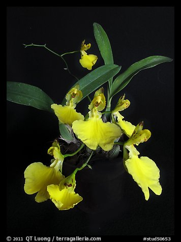 Oncidium concolor. A species orchid (color)