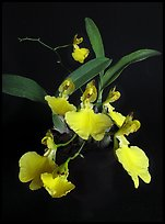 Oncidium concolor. A species orchid ( color)