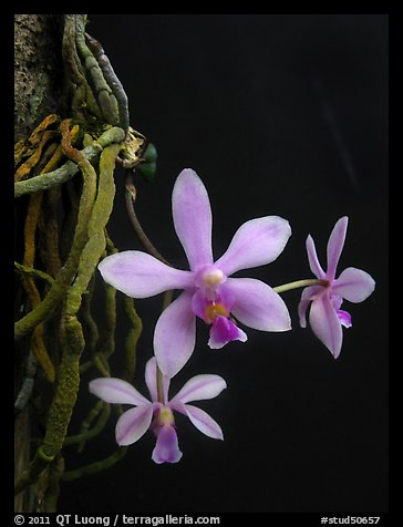 Phalaenopsis hongenensis. A species orchid (color)