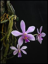 Phalaenopsis hongenensis. A species orchid ( color)