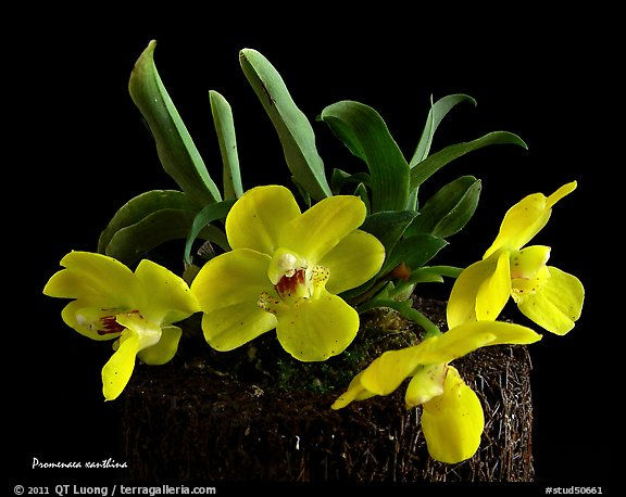 Promenaea xanthina. A species orchid (color)