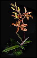 Renanthera monachica. A species orchid ( color)