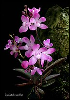 Sarcochilus cecilliae plant. A species orchid ( color)